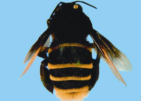 abelha-atleticana